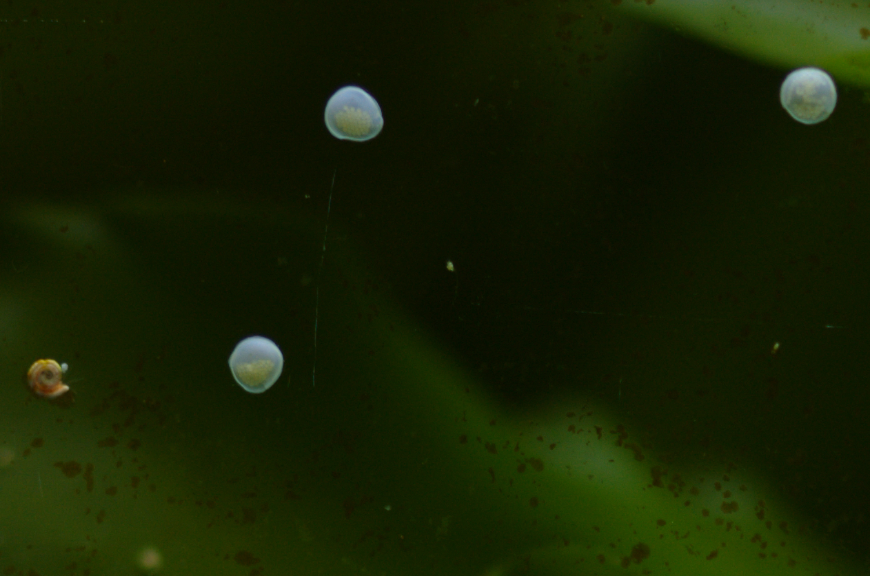Id on these snail eggs reef central online community for Snail eggs in fish tank
